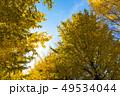 銀杏 紅葉 黄葉の写真 49534044
