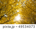 銀杏 紅葉 黄葉の写真 49534073