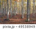 10月 安比高原の紅葉のブナ二次林 49538949