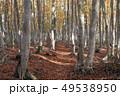 10月 安比高原の紅葉のブナ二次林 49538950