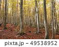 10月 安比高原の紅葉のブナ二次林 49538952