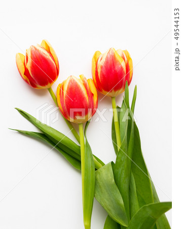 Bunch of red tilups on white background.  49544153