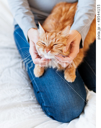 Cute ginger cat lies on woman's hands. Fluffy pet 49544155