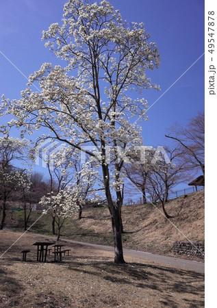 青空に咲く美しい白い木蓮の花、太陽の光がまぶしい 49547878