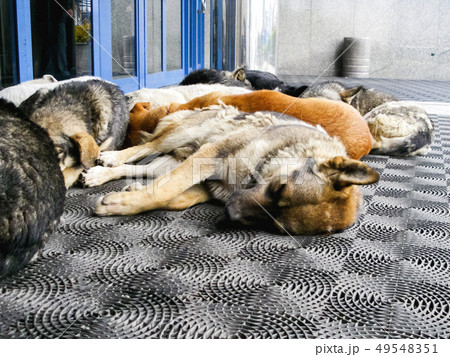 Stray dogs are sleeping in front of shopping mall 49548351