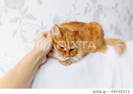 Woman is stroking cute ginger cat on white couch 49548353
