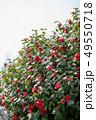 椿 冬 花の写真 49550718