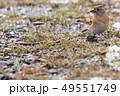 芽を食べるアトリ 49551749