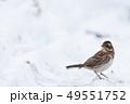 雪とカシラダカ 49551752