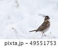 雪とカシラダカ 49551753