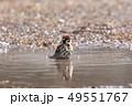 スズメの水浴び 49551767