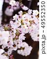 ソメイヨシノ 49552350