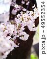 ソメイヨシノ 49552354