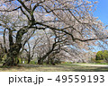 小石川植物園の桜(4月)東京都文京区 49559193