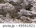 さくら 桜 サクラの写真 49561921