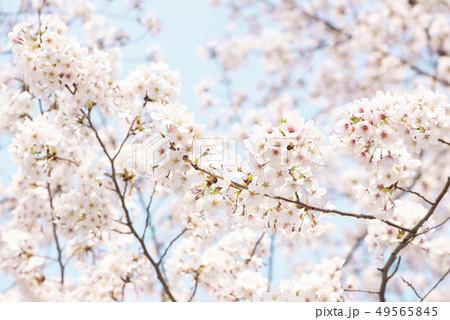 桜 満開 青空 49565845