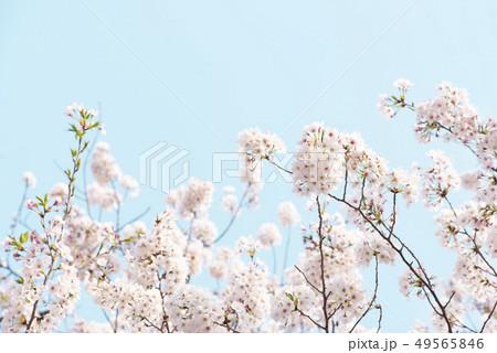 桜 満開 青空 49565846