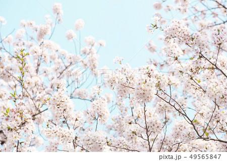 桜 満開 青空 49565847