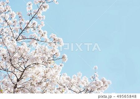 桜 満開 青空 49565848
