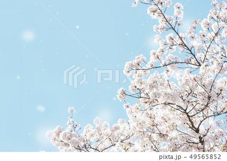 桜 桜吹雪 満開 青空 49565852