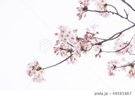 桜 満開 49565867