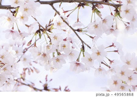 桜 満開 49565868
