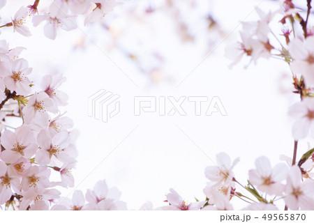 桜 満開 49565870