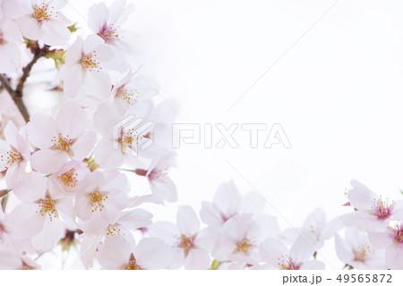 桜 満開 49565872