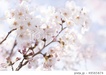 桜 満開 49565874