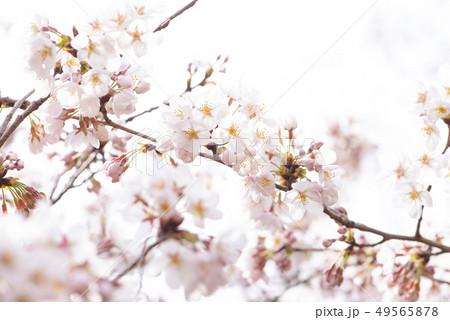 桜 満開 49565878