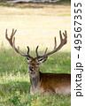 鹿 牡鹿 動物の写真 49567355
