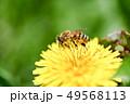 たんぽぽにミツバチ 49568113