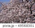 ソメイヨシノ 満開 花の写真 49568301