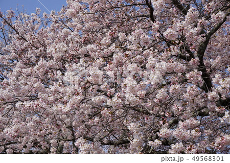 満開となった桜「ソメイヨシノ」 49568301