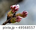 桜の蕾 49568557