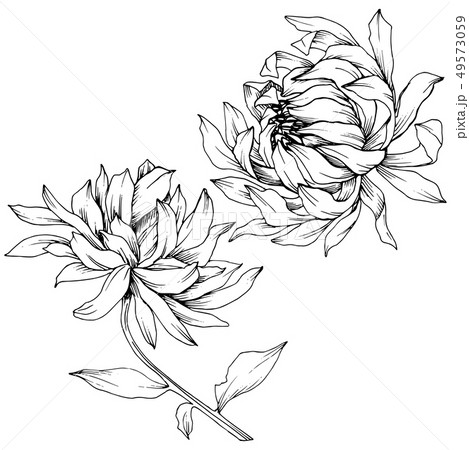 Vector Chrysanthemum floral botanical flowers. Black and white engraved ink art. Isolated flower 49573059