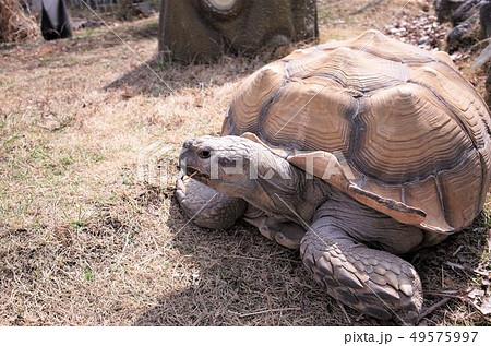 動物園のリクガメ、ケヅメリクガメ、かわいい亀。群馬サファリパーク 49575997