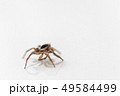 Insect Jumping Spider 49584499