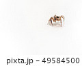 Insect Jumping Spider 49584500