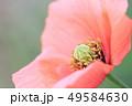 ひなげし ポピー 花の写真 49584630