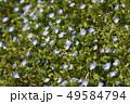 オオイヌノフグリ 花 春の写真 49584794