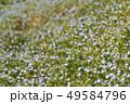 オオイヌノフグリ 花 春の写真 49584796