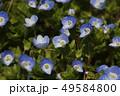 オオイヌノフグリ 花 春の写真 49584800
