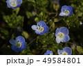 オオイヌノフグリ 花 春の写真 49584801