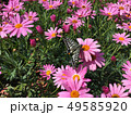 花にとまるアゲハ蝶 49585920