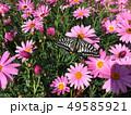 花にとまるアゲハ蝶 49585921