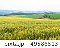 畑 麦 麦畑の写真 49586513