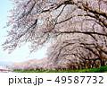 桜 桜並木 春の写真 49587732