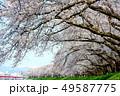 桜 桜並木 春の写真 49587775