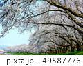桜 桜並木 春の写真 49587776